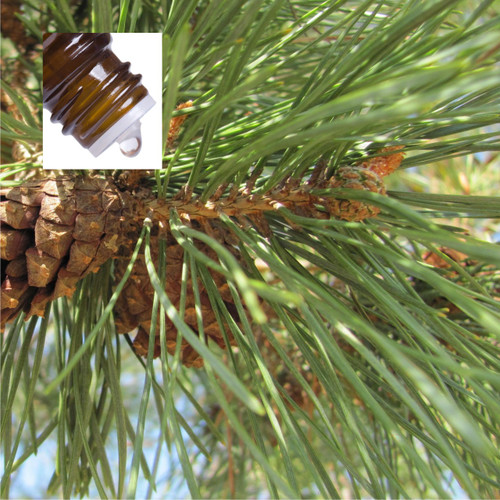 Pine Needles Wildcrafted Pure Essential Oil