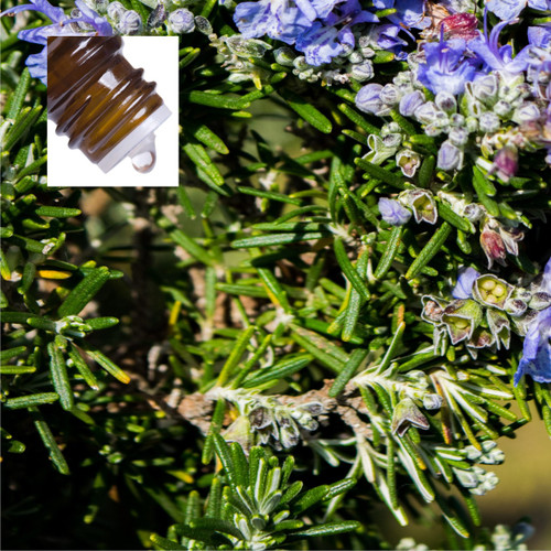 Rosemary Spain Pure Essential Oil