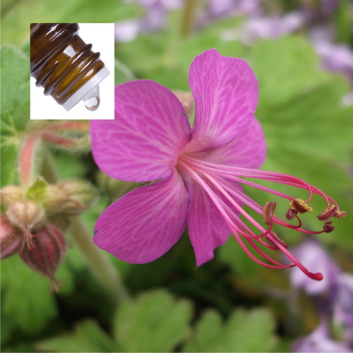 Zdravetz Organic Pure Essential Oil