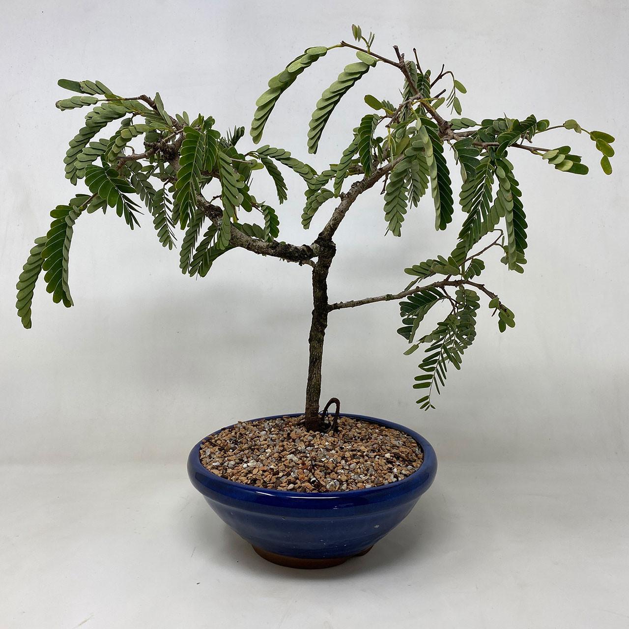 Tamarind Bonsai Tree Bonsai Outlet
