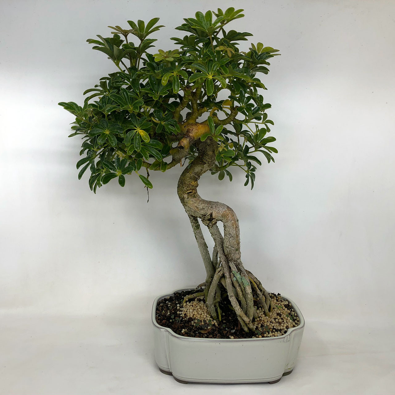 Hawaiian Umbrella Bonsai Tree Bonsai Outlet Tweb481