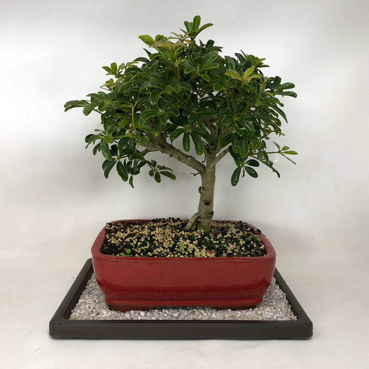 Hawaiian Umbrella Bonsai Tree Bonsai Outlet Tweb489