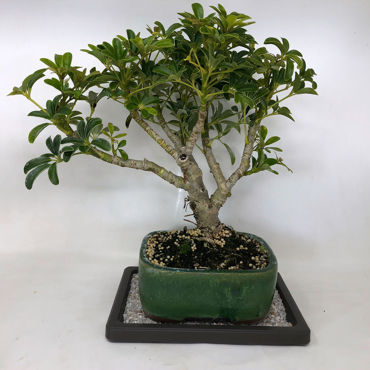 Hawaiian Umbrella Bonsai Tree Bonsai Outlet Tweb502