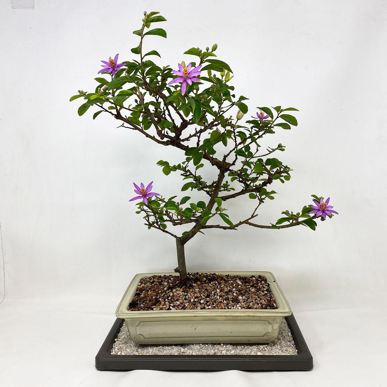Lavender Star Bonsai Tree Bonsai Outlet
