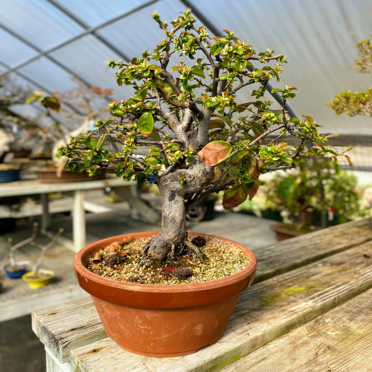 Flowering Quince Chinese Quince Bonsai Tree Bonsai Outlet