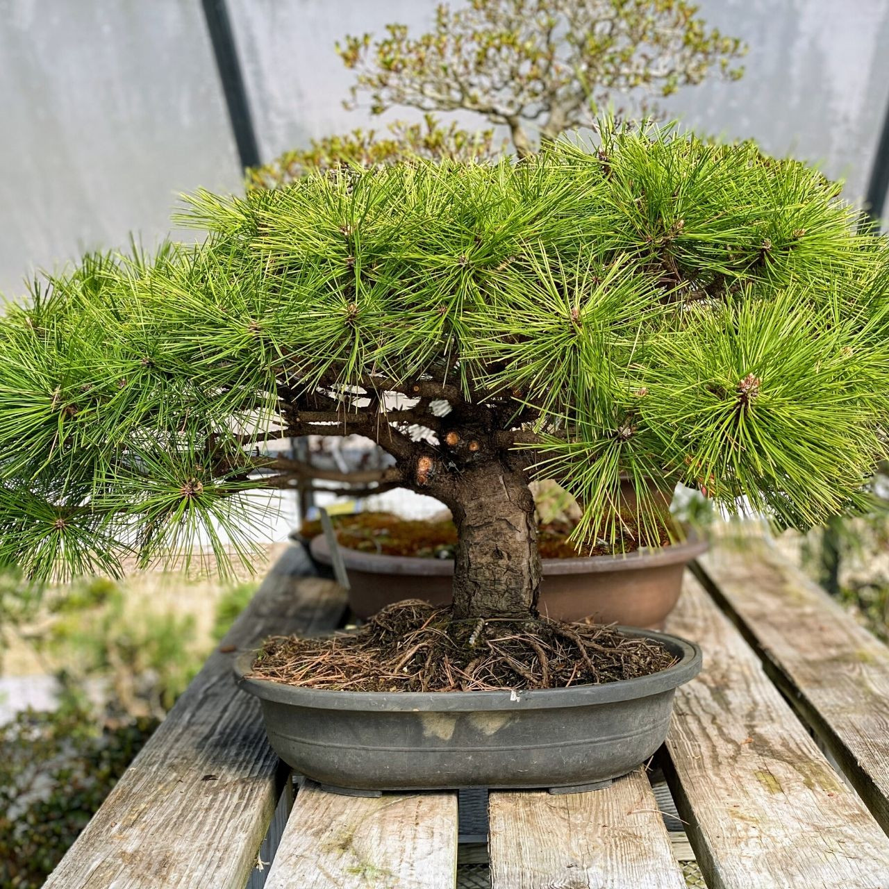 Japanese Red Pine Bonsai Outlet Web1709