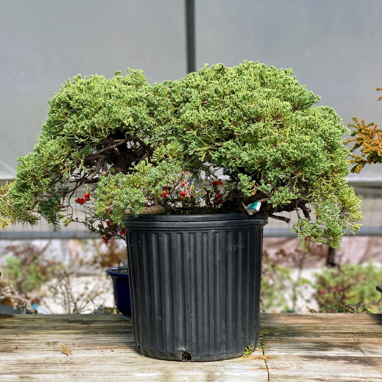 Juniper Procumbens Nana Pre Bonsai Tree Bonsai Outlet Web1525