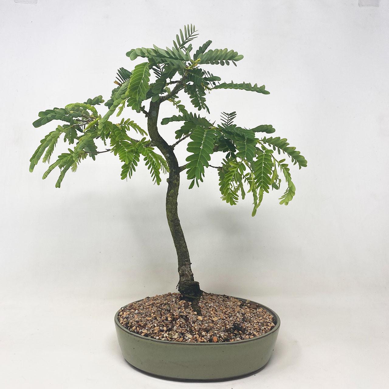 Tamarind Bonsai Tree Bonsai Outlet Tweb640