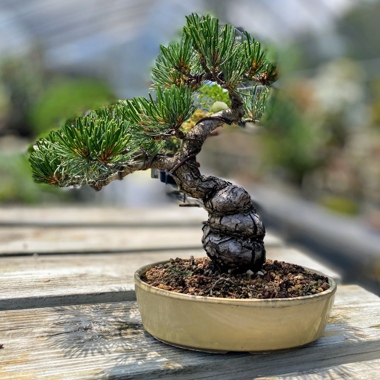 Imported Japanese White Pine Bonsai Tree Bonsai Outlet Web3786