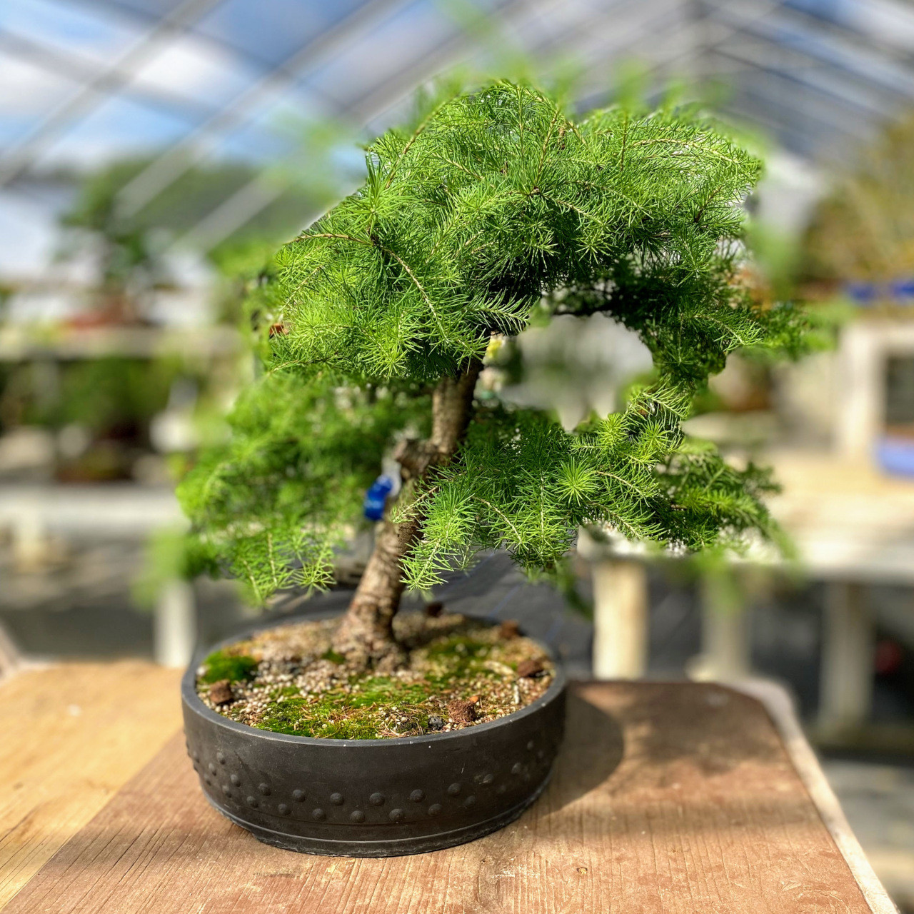 Collected Larch Bonsai Tree Bonsai Outlet Web3715