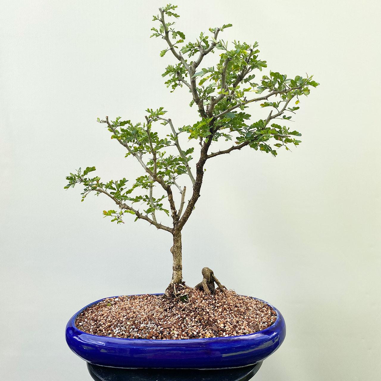 Texas Ebony Bonsai Tree Bonsai Outlet Tweb708