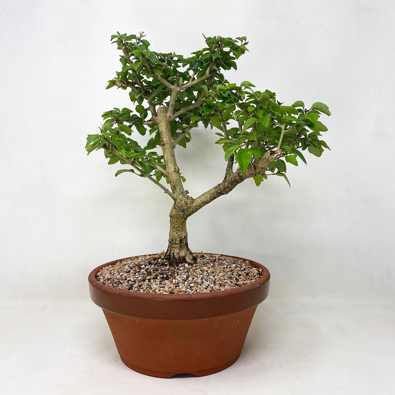 Parrot S Beak Bonsai Tree Bonsai Outlet Tweb751