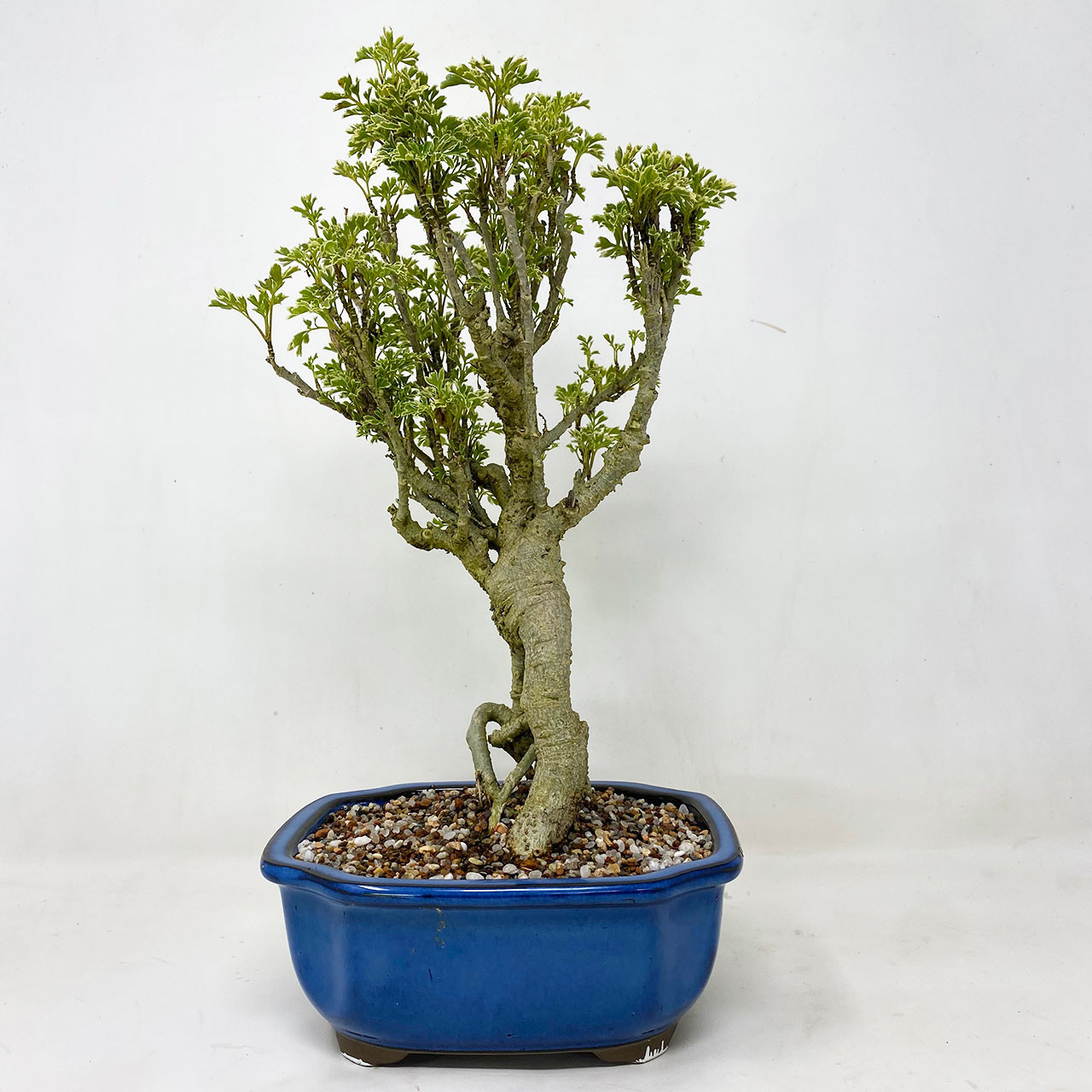 Ming Aralia Bonsai Tree Bonsai Outlet Tweb755