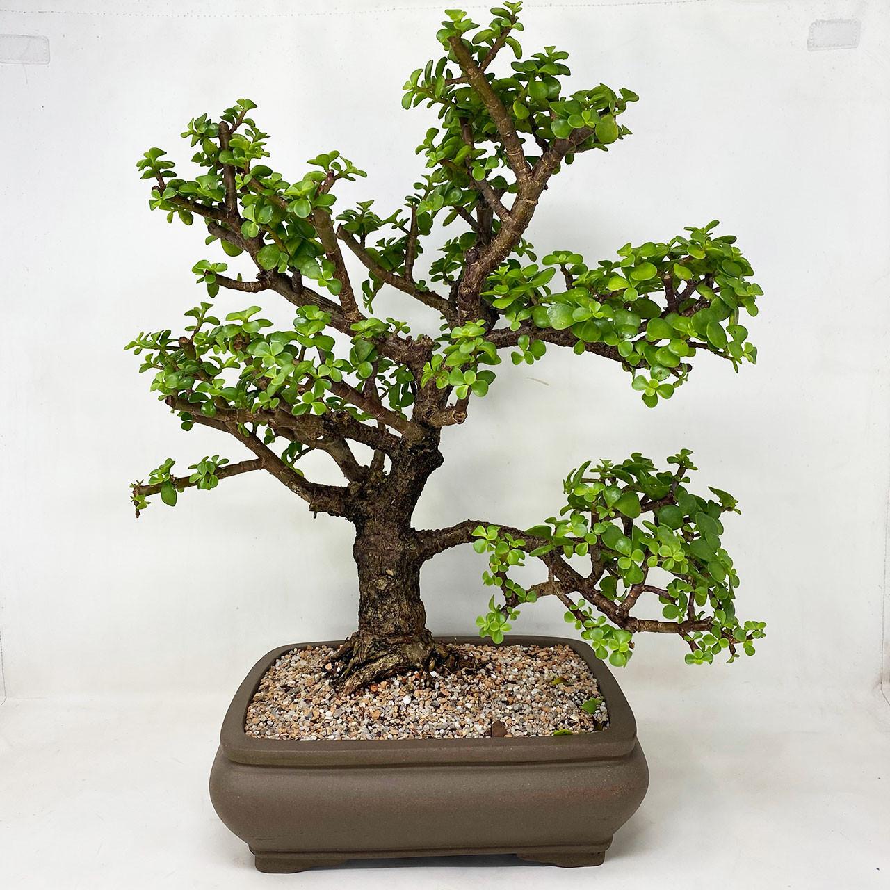 "Shipped Tightroot 6pcs 8"" Long Dwarf Jade Bonsai Portulacaria Succulent Bonsai"