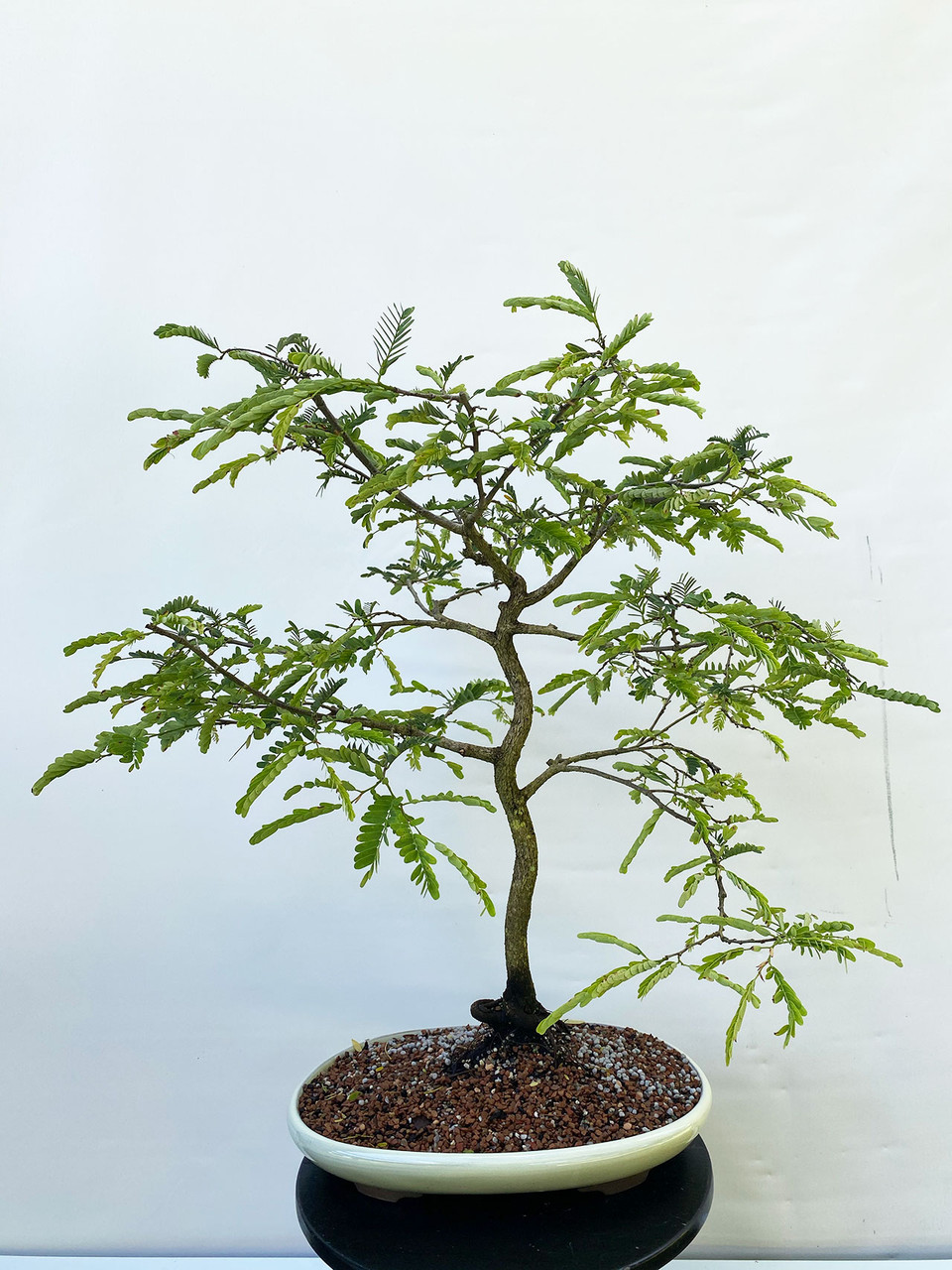 Tamarind Bonsai Tree Bonsai Outlet Tweb779