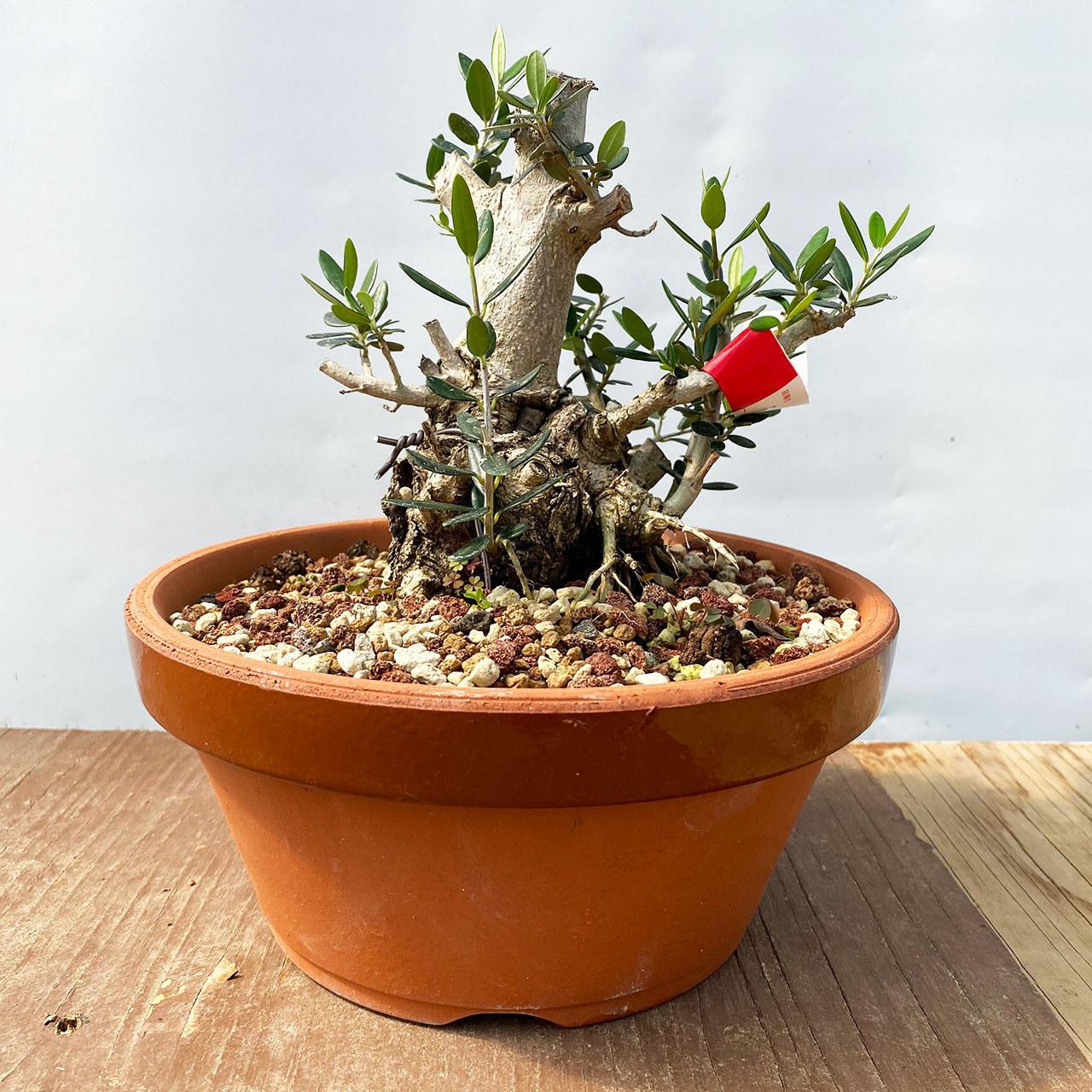 Dwarf Old Olive Bonsai Tree I Bonsai Outlet Web4338
