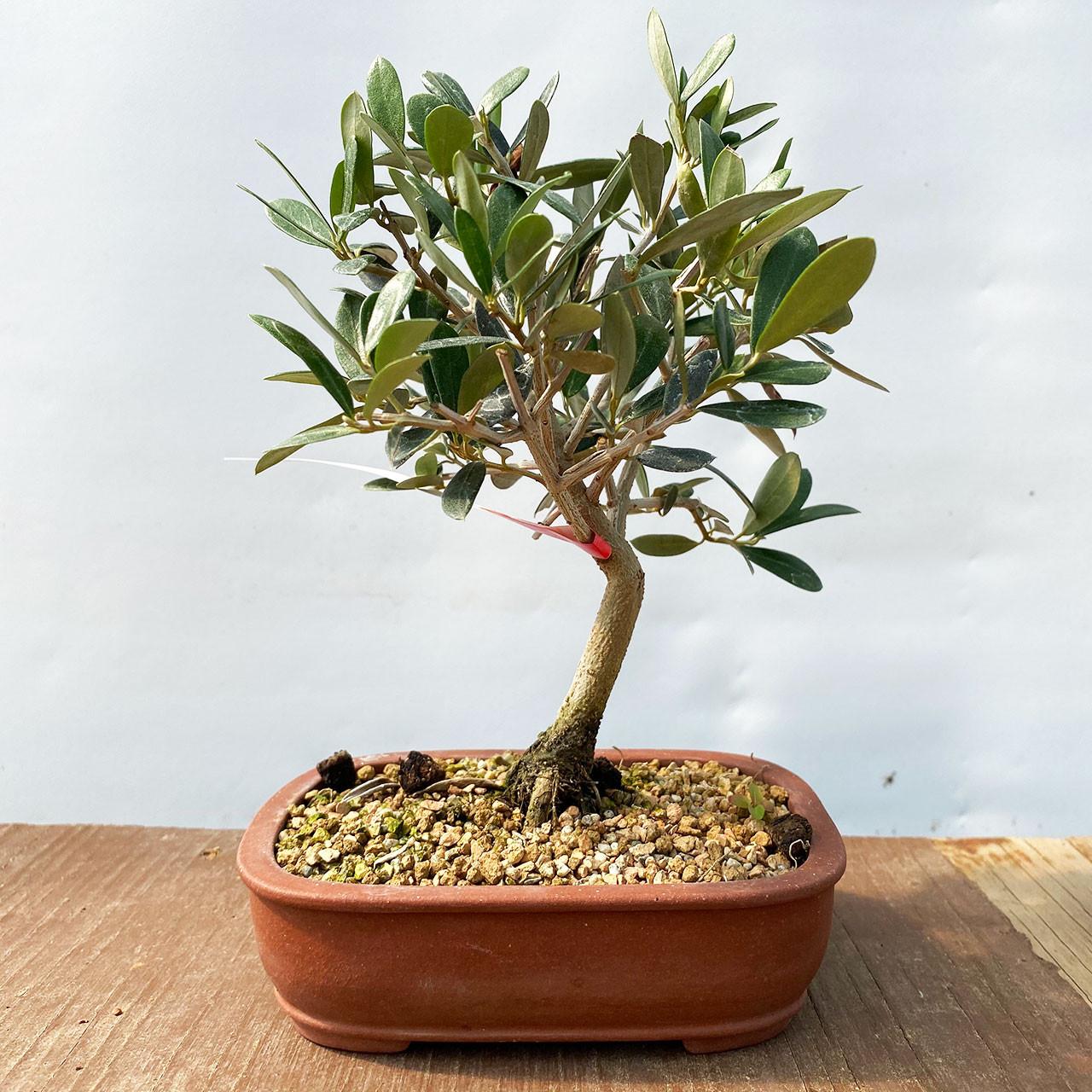 Dwarf Old Olive Bonsai Tree I Bonsai Outlet Web4335