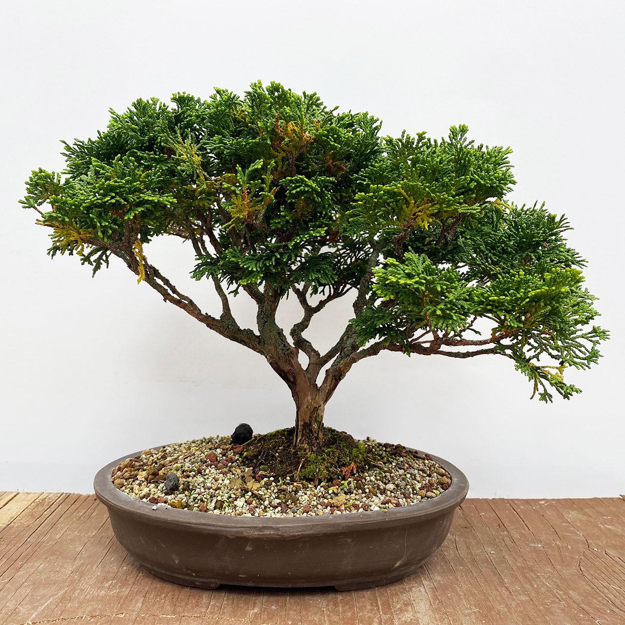 Hinoki Cypress Bonsai Tree Bonsai Outlet Web4407