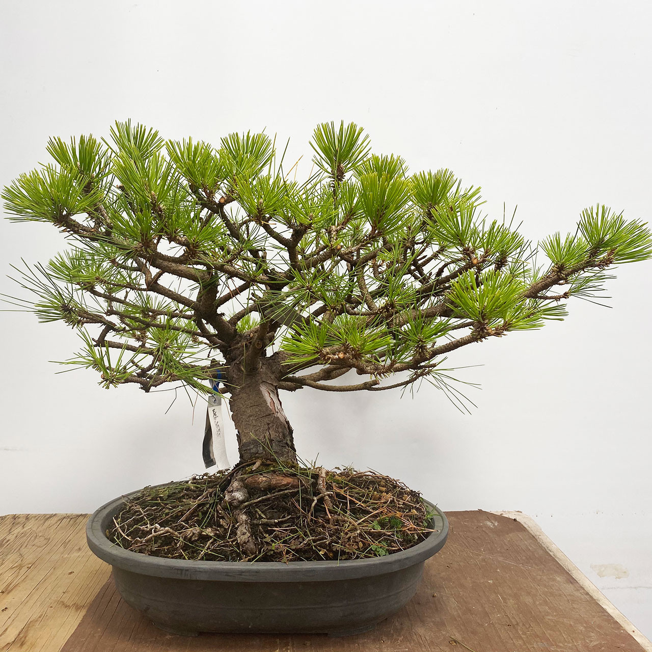 Japanese Red Pine Bonsai Outlet Web3555