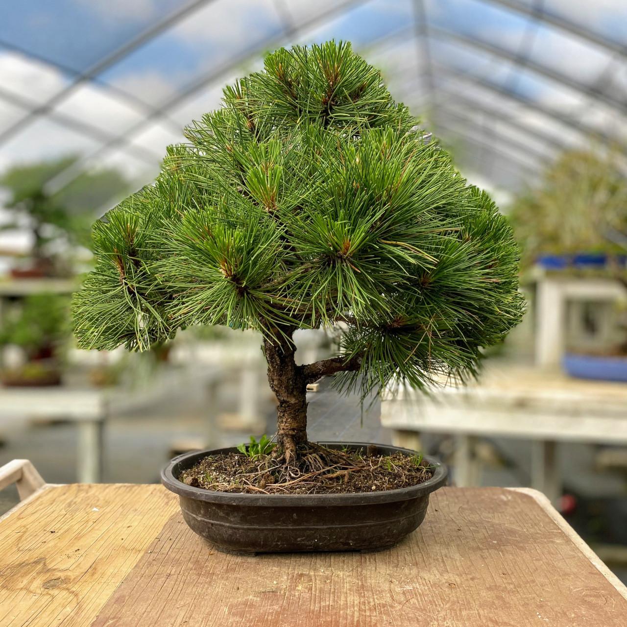 Dwarf Austrian Black Pine Hornibrookiana I Bonsai Outlet Web4229