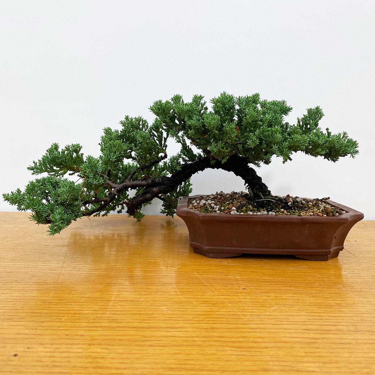Juniper procumbens nana bonsai trees in 5.25 unglazed pot Variety to choose from.