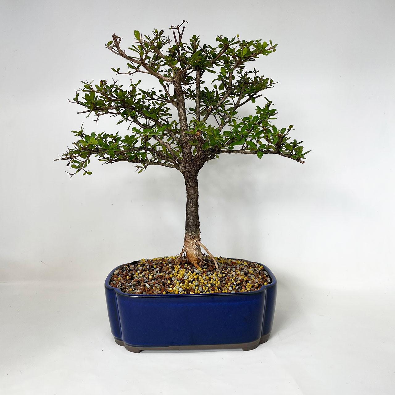 Black Olive Bonsai Tree Bonsai Outlet Tweblbo 01