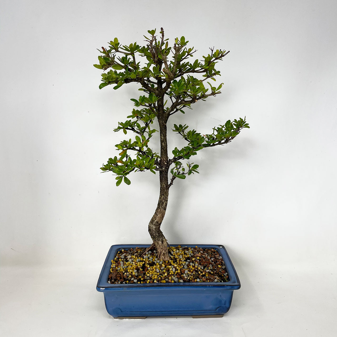 Black Olive Bonsai Tree Bonsai Outlet Tweblbo 04
