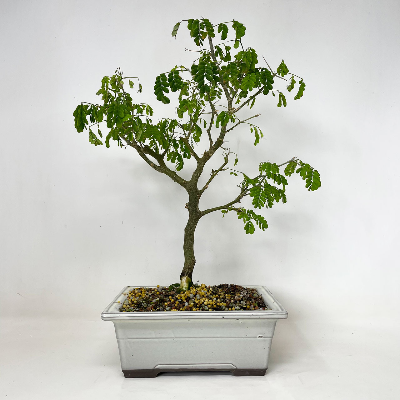 Brazilian Rain Tree Bonsai Tree Bonsai Outlet Tweb926