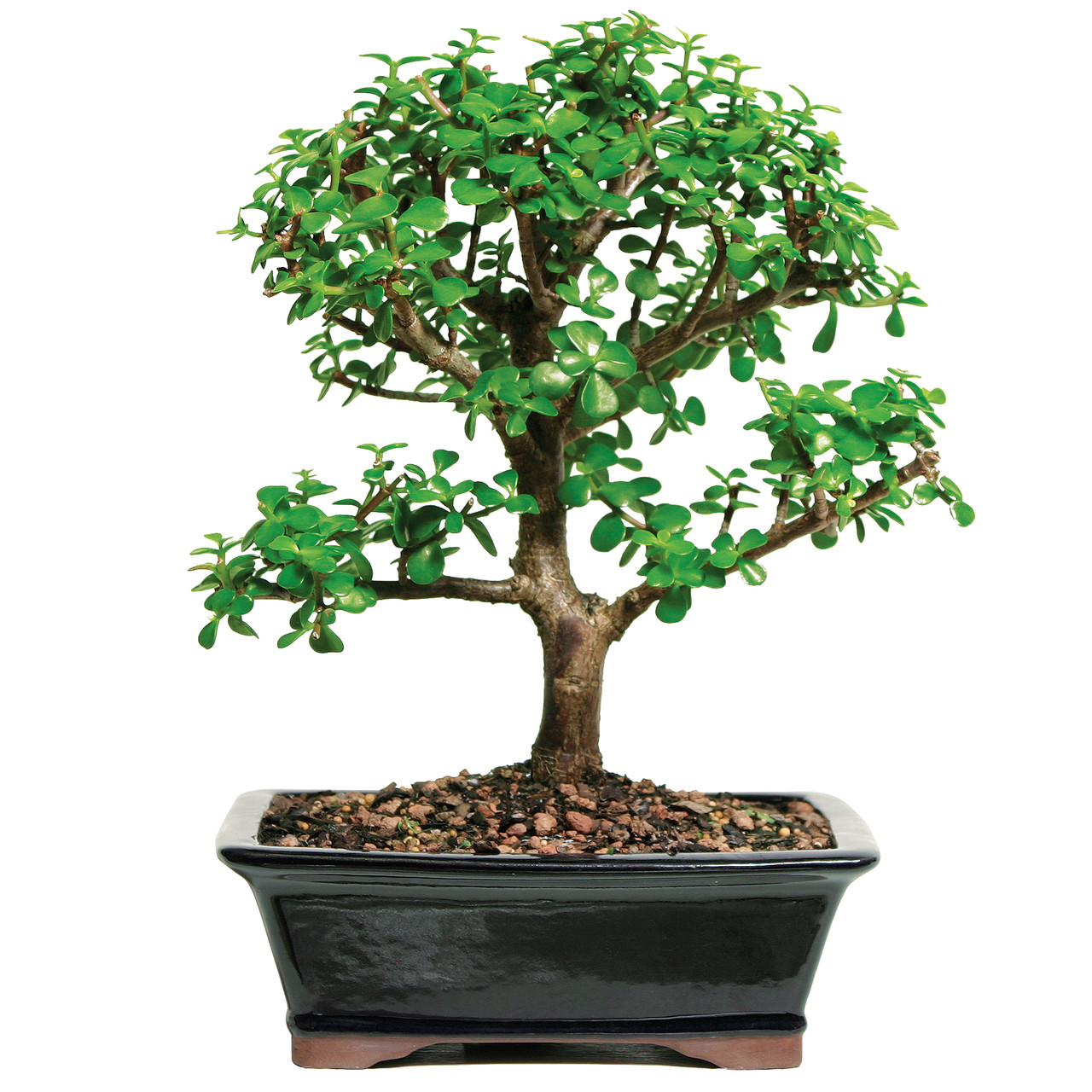 Dwarf Mini Jade Bonsai Tree