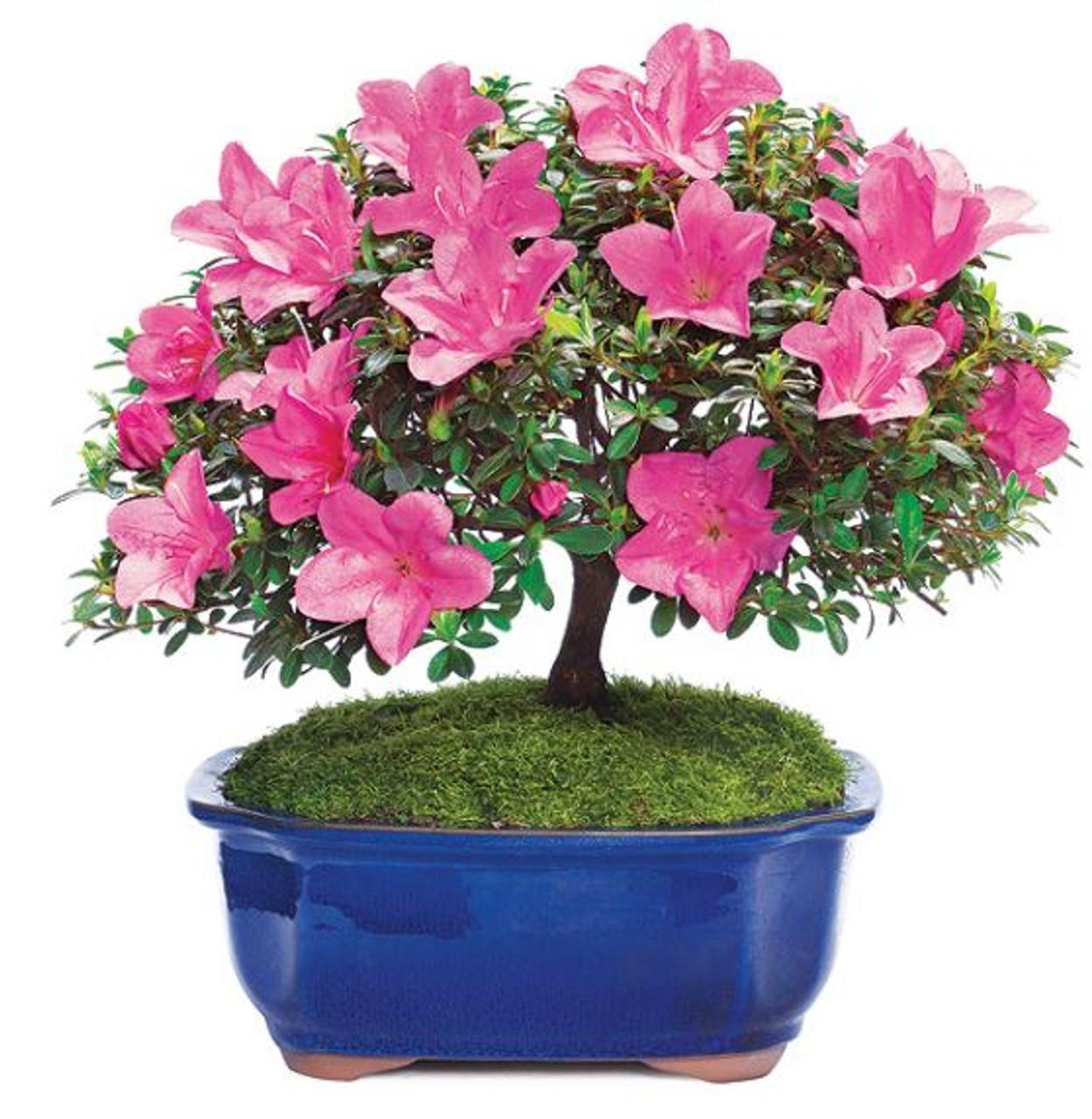 Flowering Satsuki Azalea Bonsai Tree Bonsaioutlet Com