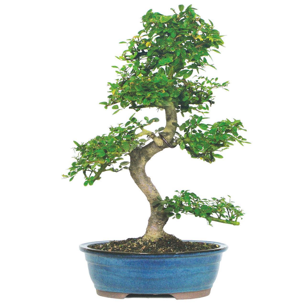 Chinese Elm Bonsai Great For Beginners Bonsaioutlet Com