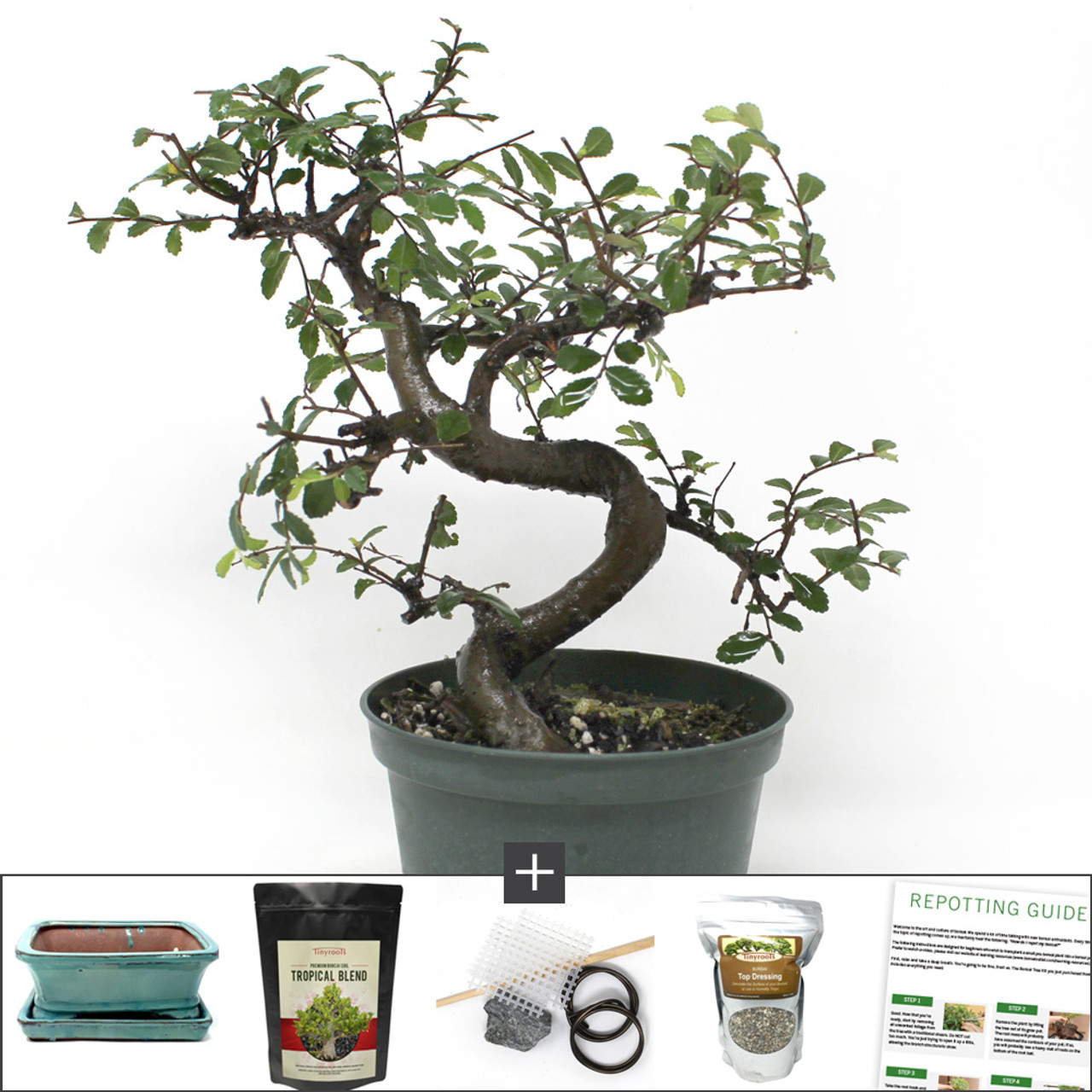 Refined Chinese Elm Bonsai DIY Kit  A Gnarly Looking Bonsai with S-Curve  Trunk Movement