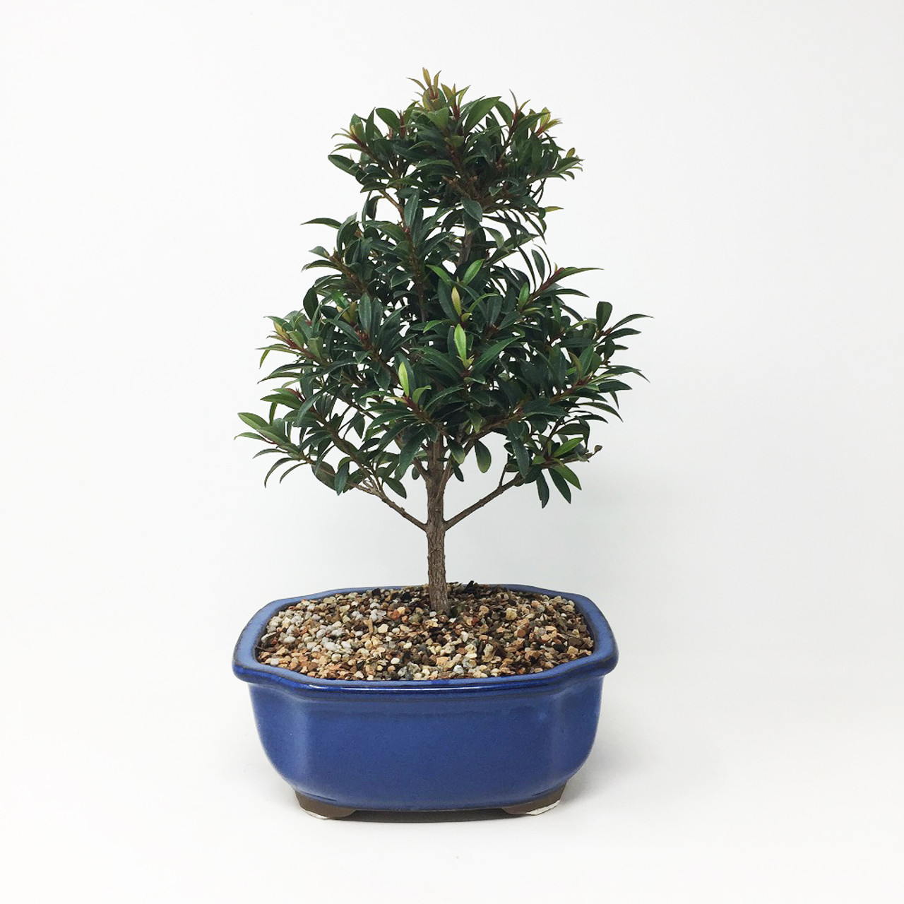 Brush Cherry Bonsai Tree Bonsai Tree