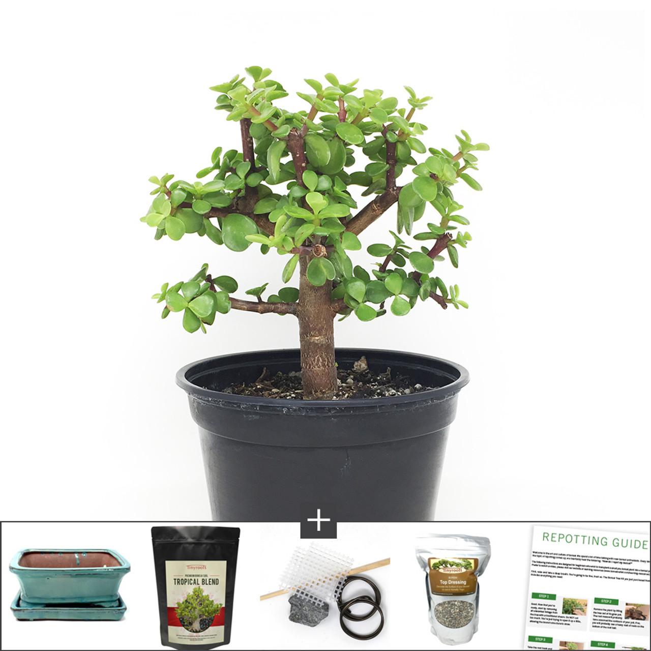 Dwarf Jade Bonsai Tree Kit At Bonsaioutlet Com