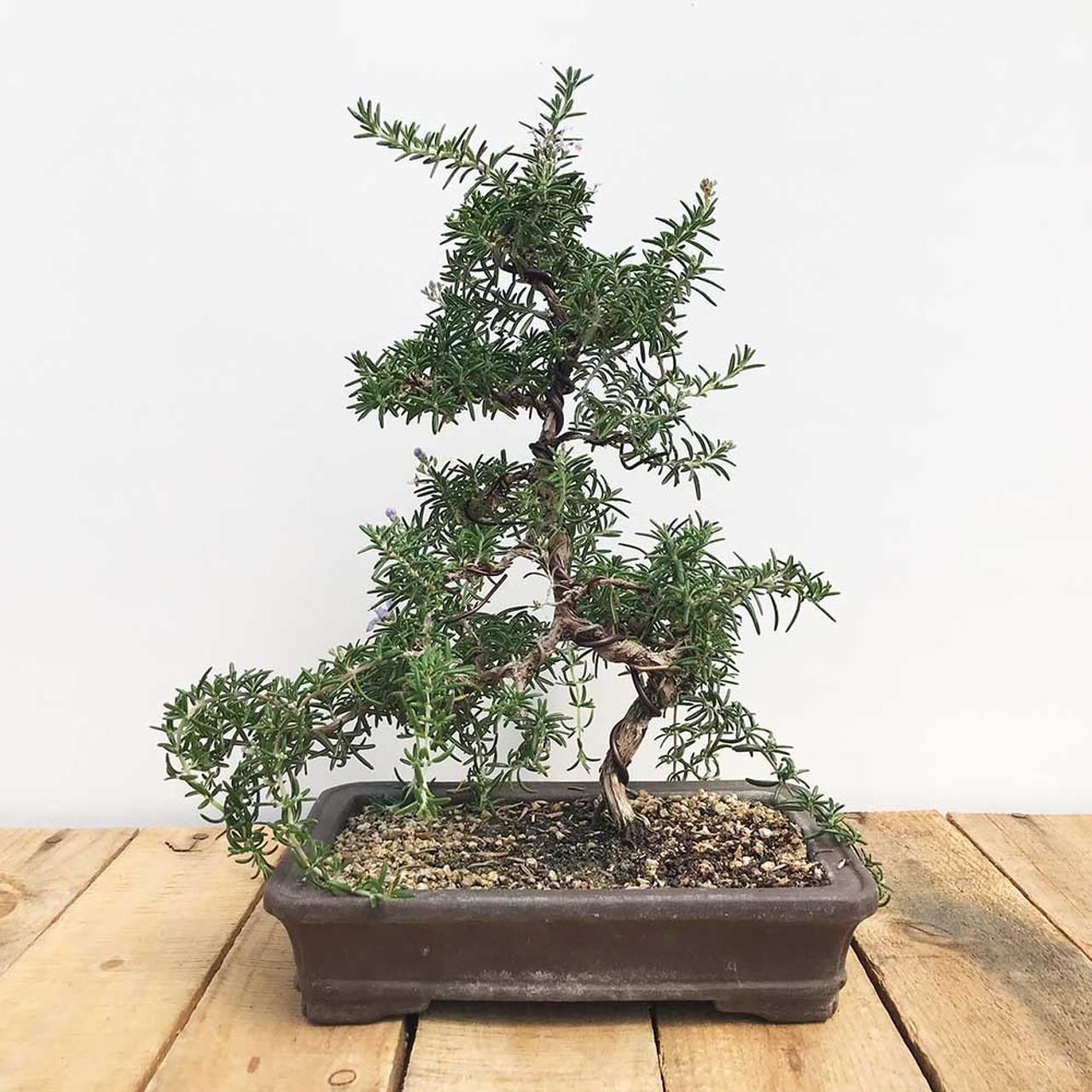Single Trunk Rosemary Bonsai Tree Bonsai Outlet