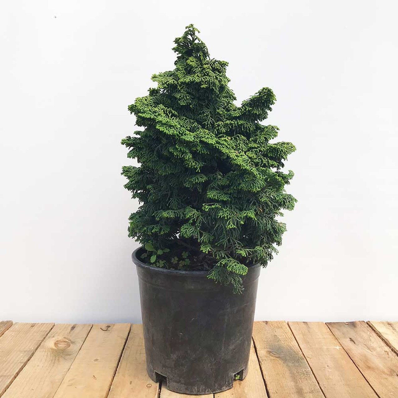Hinoki Cypress Kosteri Bonsai Bonsai Outlet