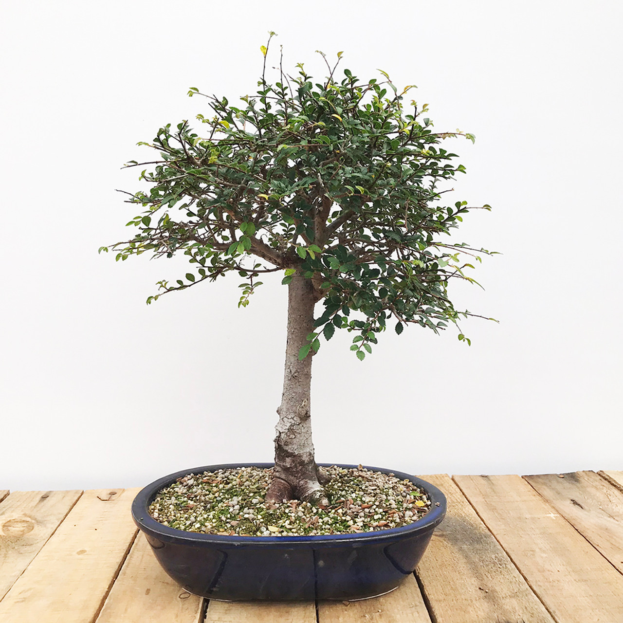 Broom Style Chinese Elm Bonsai Outlet