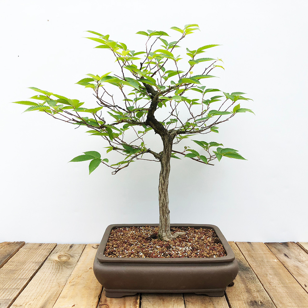 Japanese Hornbeam Bonsai Outlet