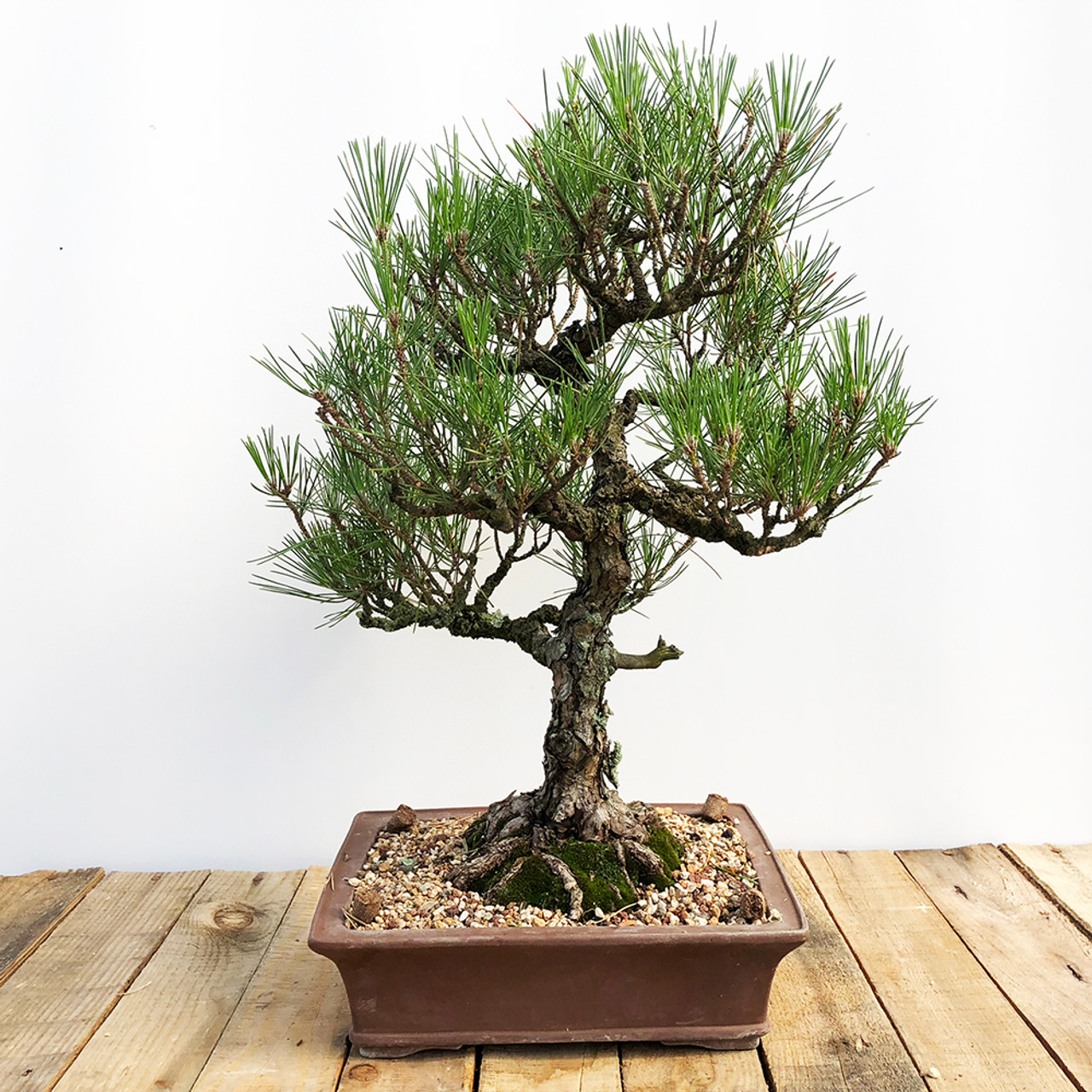 Imported Japanese Black Pine Bonsai Outlet