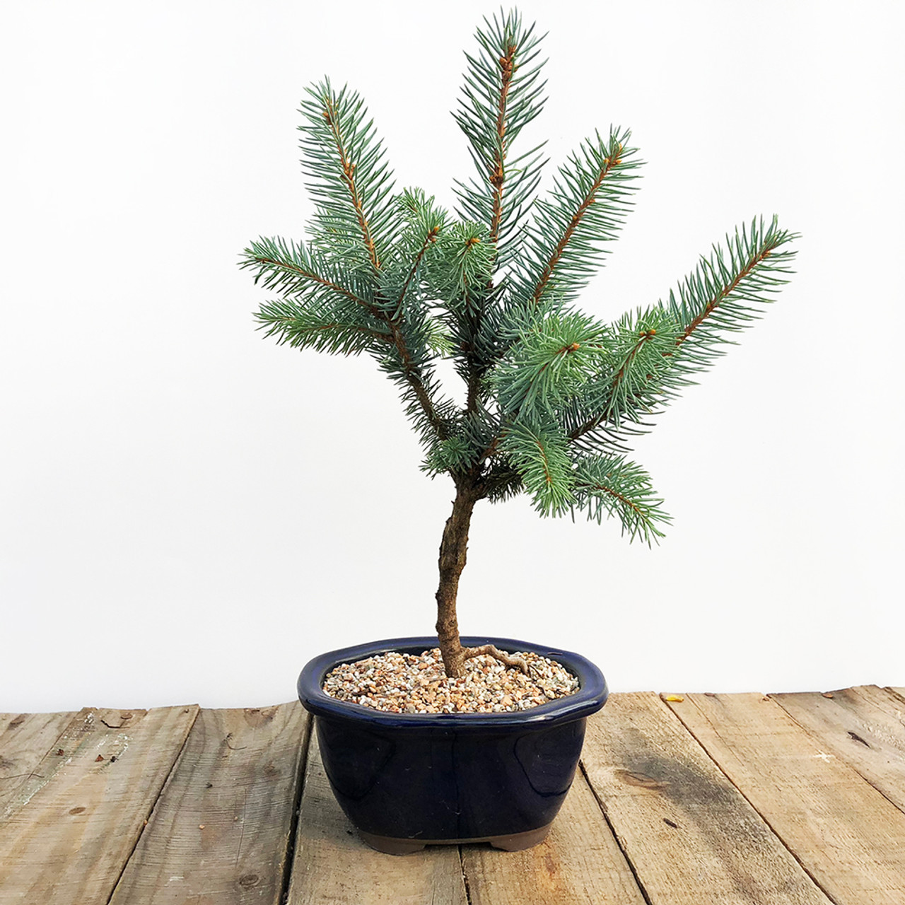 Grafted Baker S Blue Spruce Bonsai Tree Bonsai Outlet