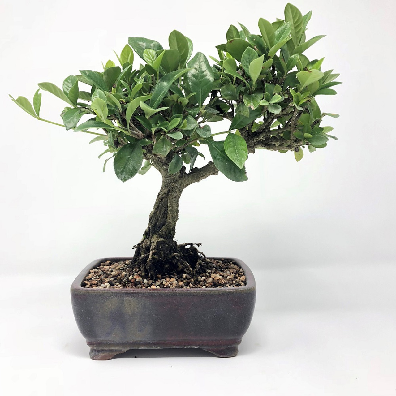 Flowering Gardenia Bonsai Tree Bonsai Outlet