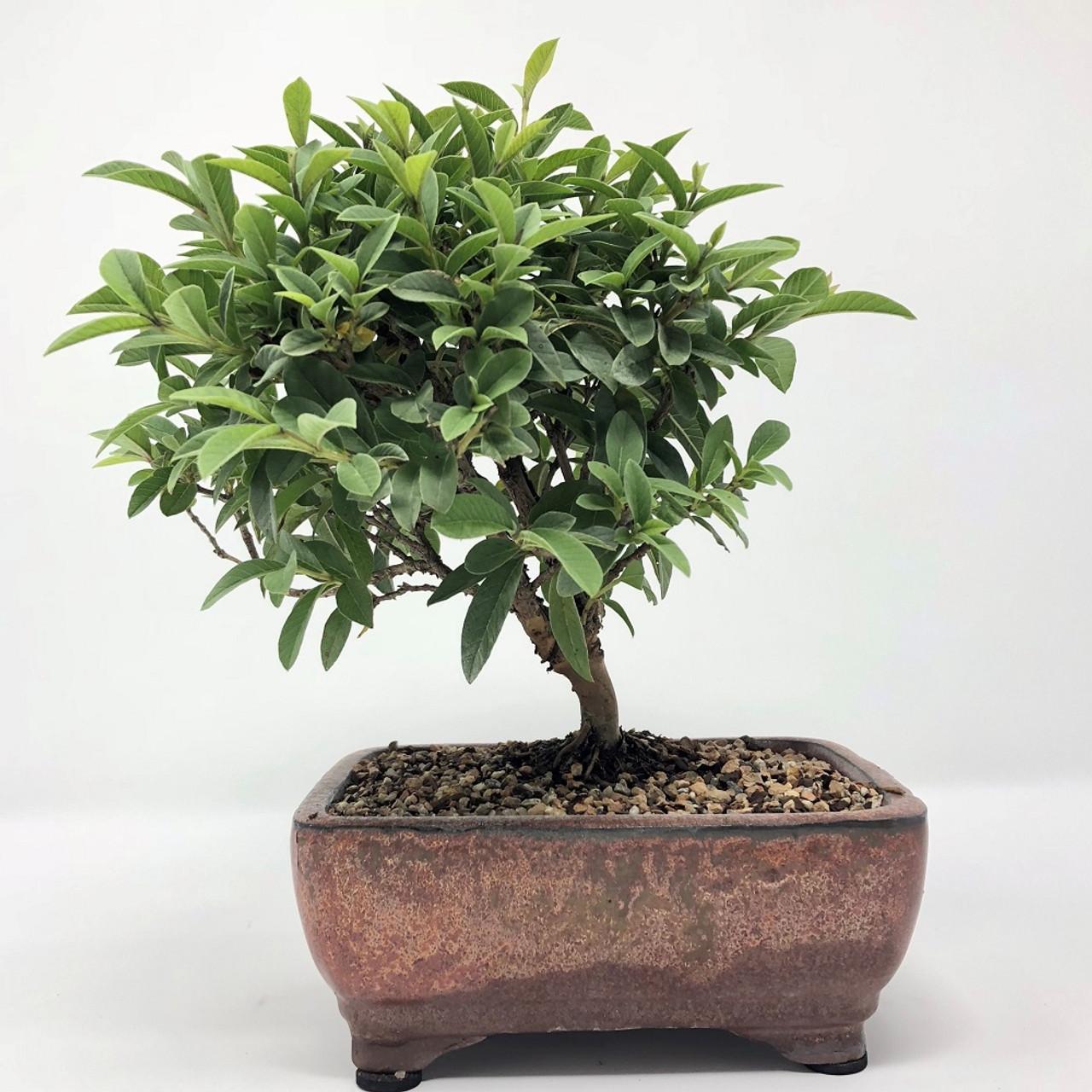 Rare Micro Dwarf Leaf Dwarf Guava Bonsai Tree Bonsai Outlet