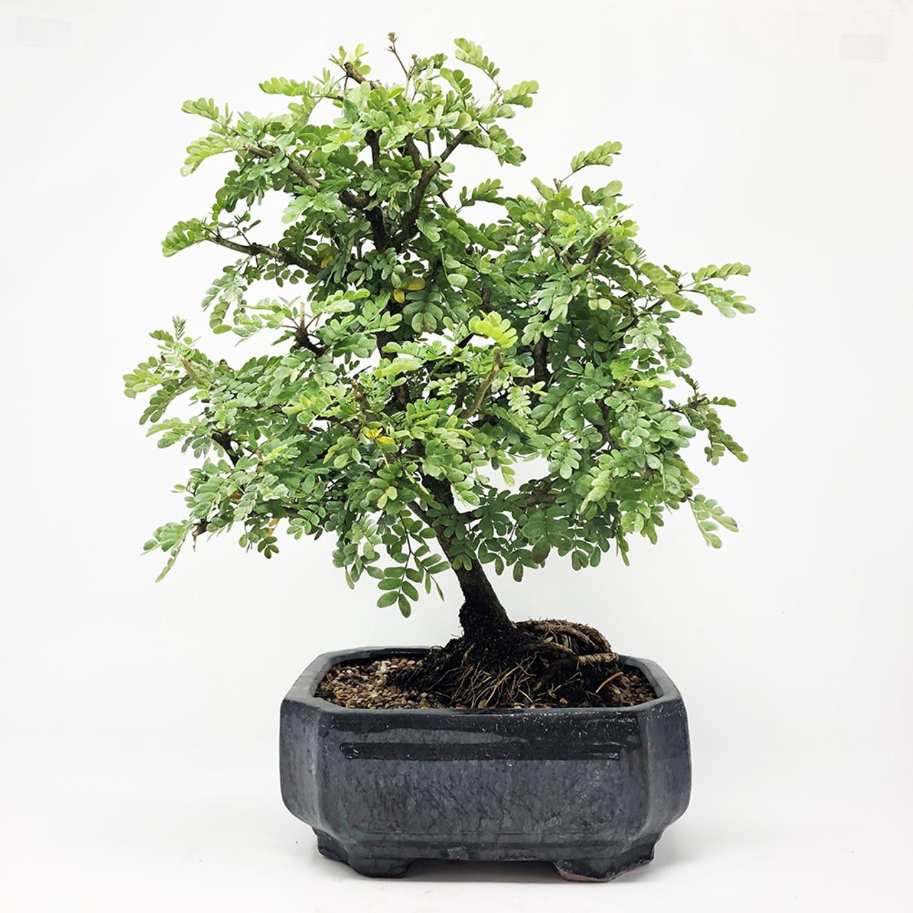 Texas Ebony Bonsai Tree Bonsai Tree