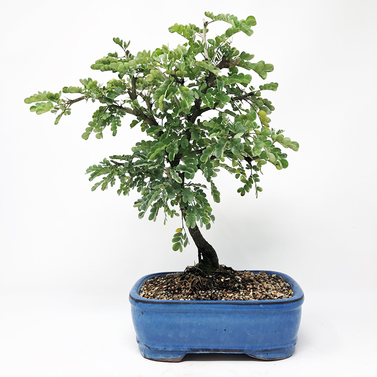 Texas Ebony Bonsai Bonsai Outlet