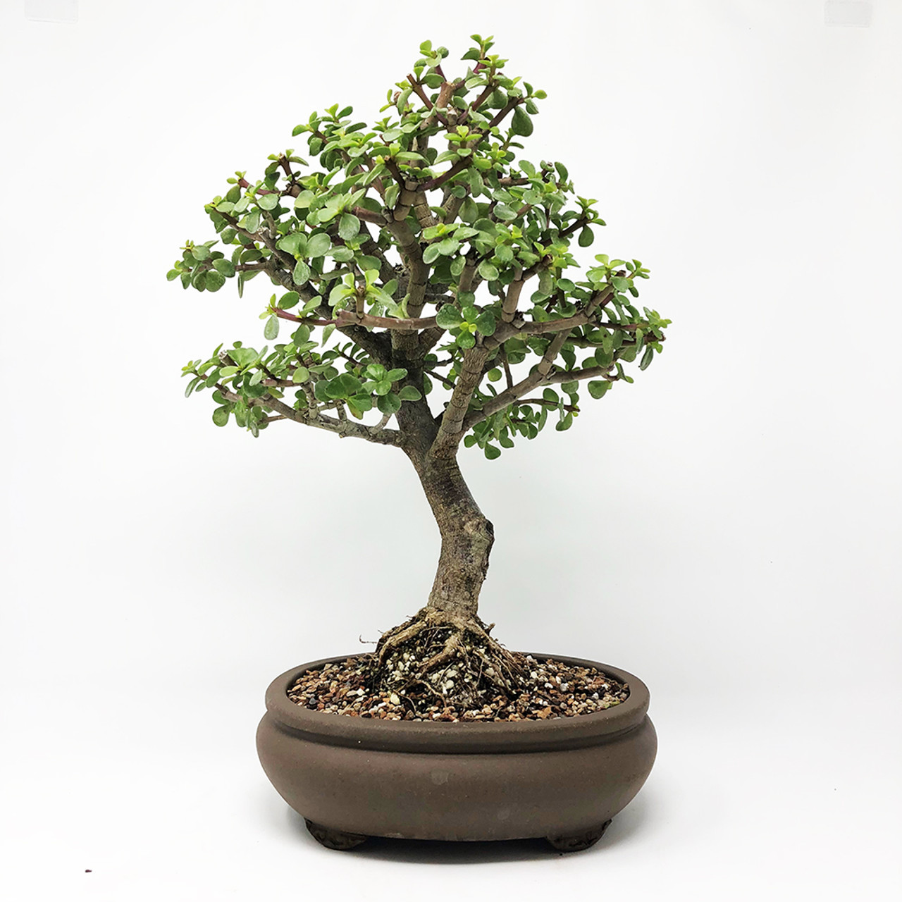 Image result for Informal Upright bonsai