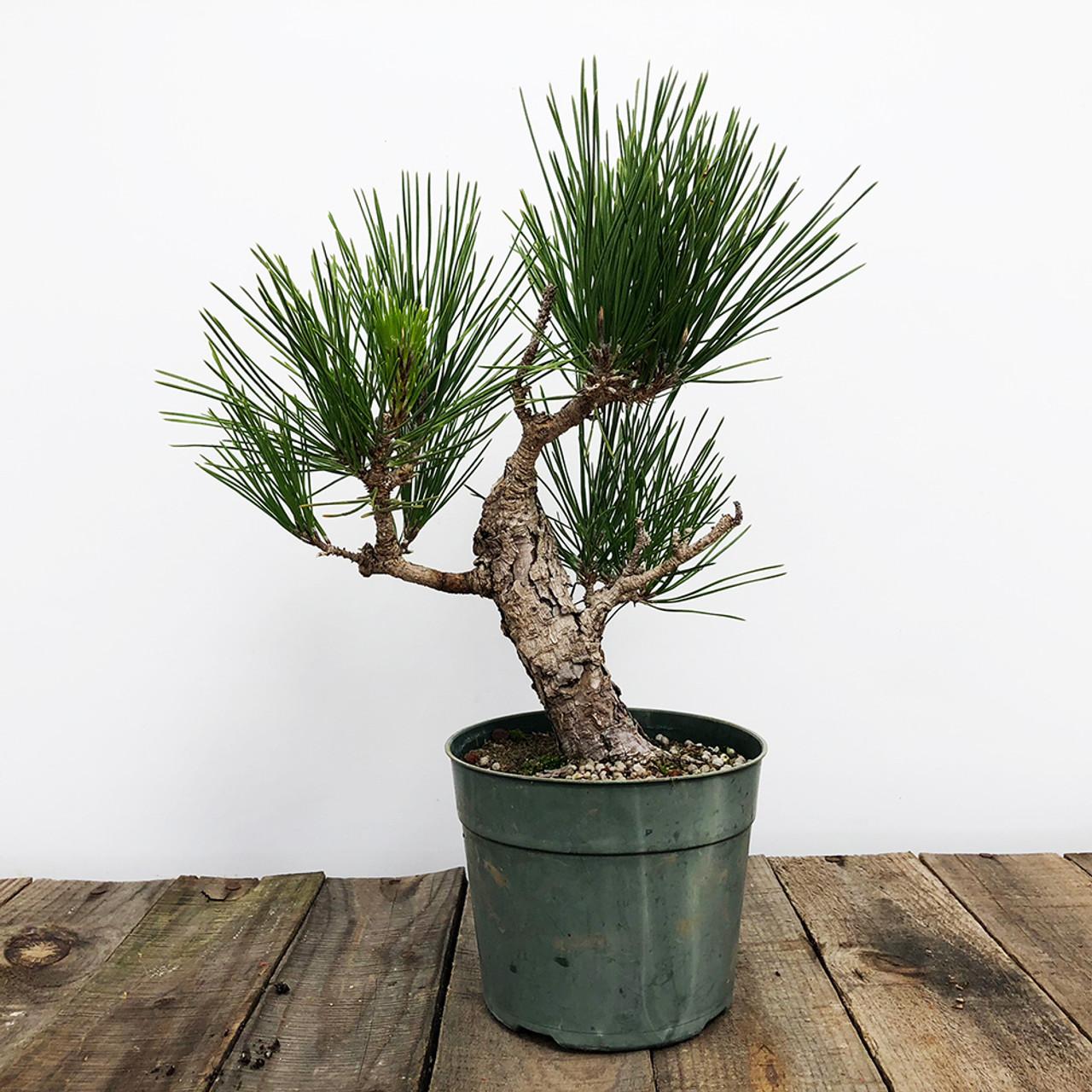 Pre Bonsai Japanese Black Pine Bonsai Outlet