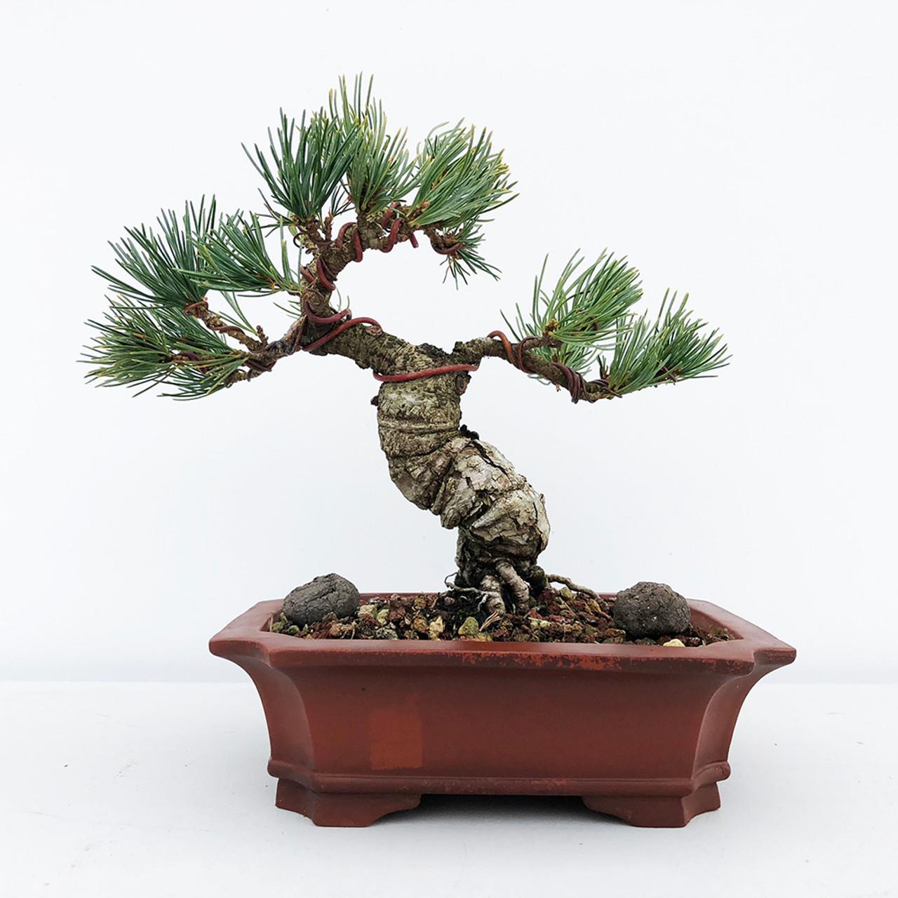 Japanese White Pine Bonsai Tree For Sale Bonsai Tree