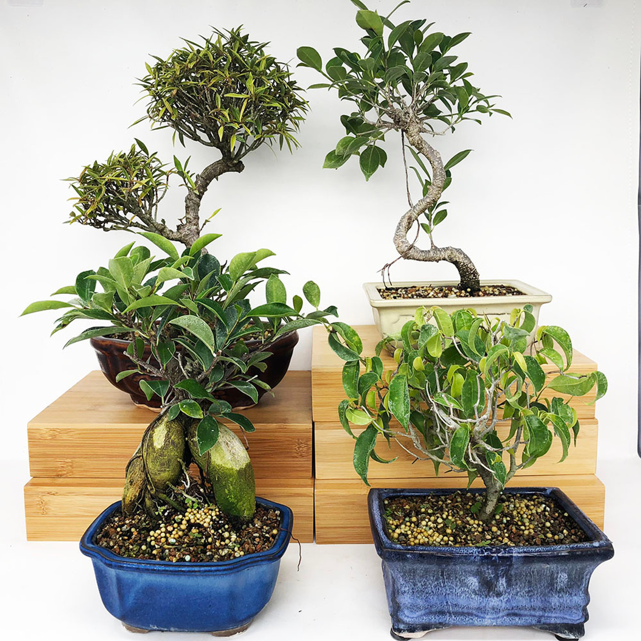 Exclusive Indoor Tropical Bonsai Tree Pack Bonsai Outlet