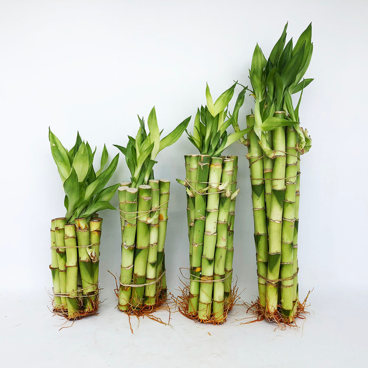4 Straight Lucky Bamboo Stalks Bonsai Outlet