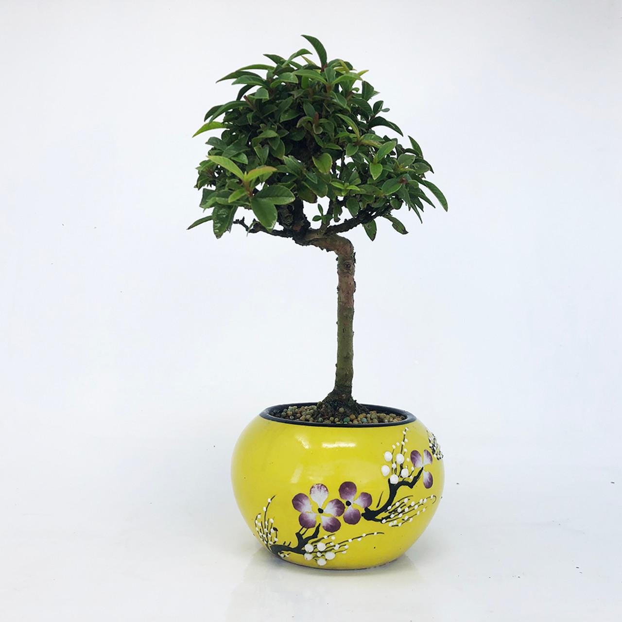 Dwarf Guava Bonsai Tree Bonsai Outlet